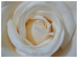 White Rose by wynters-darkness