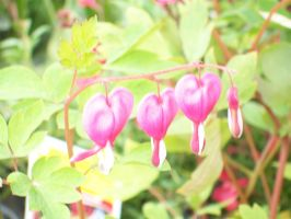 bleeding hearts by desixdisaster16