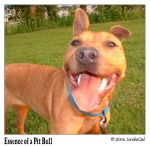 Essence of a Pit Bull by ioreksgal