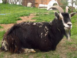 Black Billy Goat by koshplappit