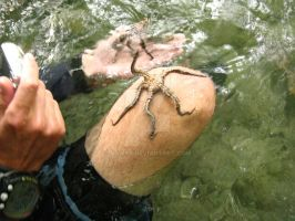 ROPanama Research: Brittle Star by Namyr