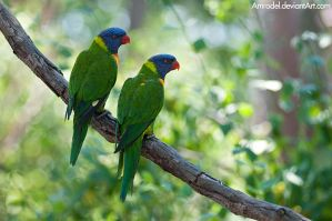 Rainbow Lorikeets by amrodel
