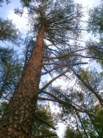 Tall trees by Sheighness