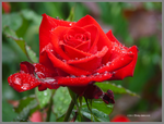 Red Rose Blooming in Rain by Mogrianne