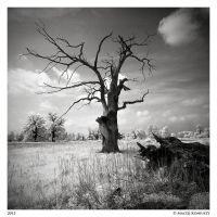 Oak in IR by Maciej-Koniuszy