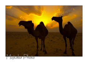Arabian Camels At Sunset by MujtabaSumain