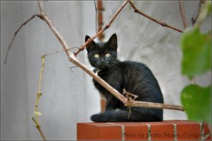 black Kitten by brijome