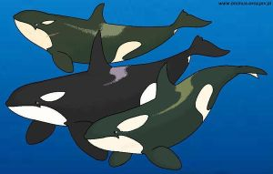 Killer whales by Tokitae