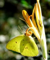 Cloudless Sulphur on Canna by duggiehoo