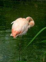 Chilean Flamingo by littleemmo