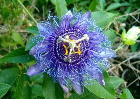 Passion Flower by jayshree