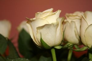 Easter Rose by tammyins