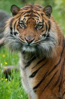 Tiger - Eye of The Tiger by Frangster