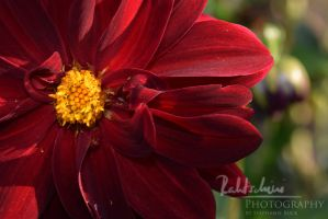 red flower 2 by Rahtschini