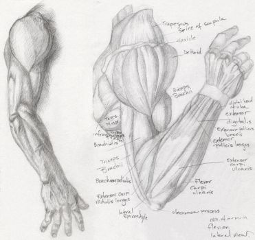 Anatomy Study - Arm 1 by Helen-Baq