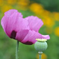 purple poppie by MorkOrk