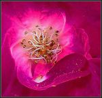 Todays Rose by Tailgun2009