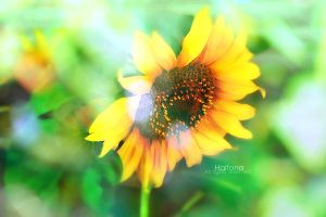 SunFlower by Haifona