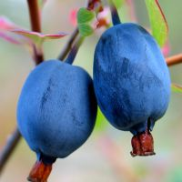 blue berries_1 by nebuhada
