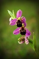 wild orchid by thespiritcarrieson