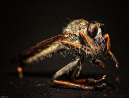Robber Fly - HDR by Petrix78