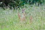 Wild Deer 98-07-11 by Prince-Photography