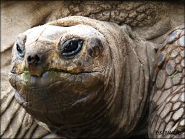 Giant Tortoise by Estruda