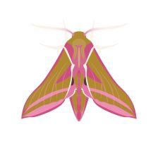 Day 34: Elephant Hawk-moth by ysyra