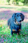 DACHSHUND IN THE FLOWERS by CRYROLFE
