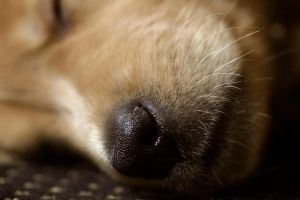 Jacy-Golden Retriever Puppy14 by sarabil1