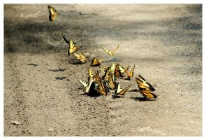 Tiger Swallowtail Butterflies by TheMan268