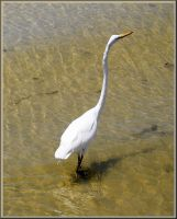 Great White Egret by TThealer56