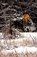 Fox Leap by claywiltonimages
