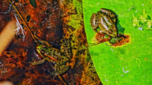 two frogs by Marmozet
