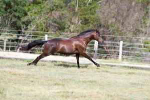 Dn black pony gallop stretched out side view by Chunga-Stock