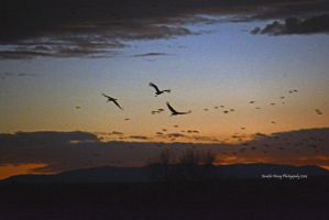 Cranes in the Predawn Light by MorrighanGW