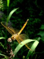 dragon fly 2 by crazycreepydreams