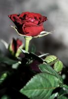 A red, red rose by Kopee182