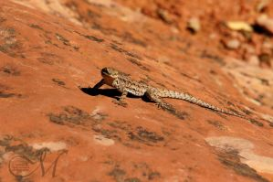 Red Rock Lizard by MLynnK