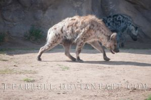Spotted Hyena by J-Farrell