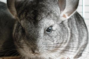 Chinchilla 7 by LadyCzarna