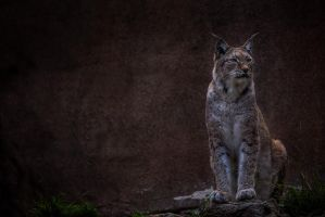 Siberian Lynx by LifeCapturedPhoto