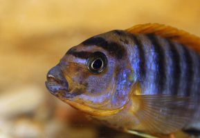 Labidochromis spec. 'Kimpuma red' by SkyDarko