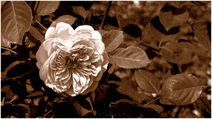 - Rose of the Past - by Cam-lou-photos