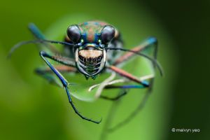 Sleeping Tiger Beetle by melvynyeo
