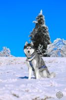 Siberian husky - Argo - Model II by Dosty7