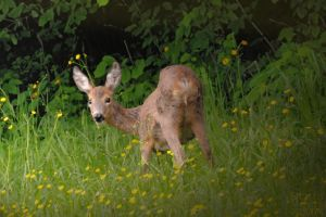 young deer by brijome