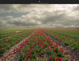 tulip field by stockkj