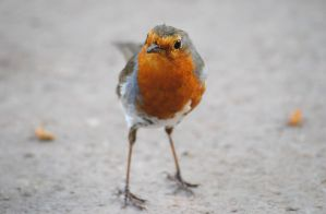 Robin Red Breast by TamarViewStudio
