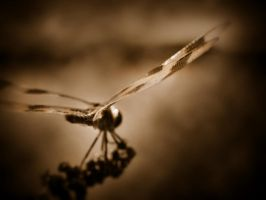 Dragonfly by firesign24-7